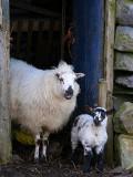 Lamb 9.JPG
