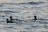 Scaup and Tufted Ducks 1.JPG