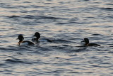 Scaup and Tufted Ducks 2.JPG