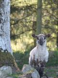 Lamb and Tree.JPG