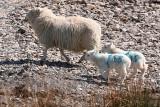 Sheep and Lambs.JPG