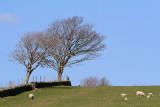 Trees and Sheep.JPG