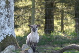 Lamb and Tree 2.JPG