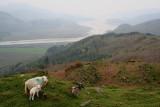 Sheep  Lamb.JPG