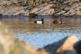 Tufted Ducks 2.JPG