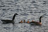 Geese and Goslings 6.JPG