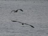 Pair of Grey Herons