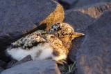 Oystercatcher Chick 2