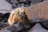 Oystercatcher Chick 1