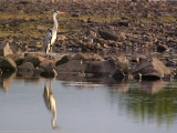 Grey Heron Reflection
