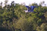 Flying Heron 1