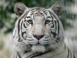 Witte Tijger - White Tiger - Panthera tigris