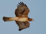 African Hawk Eagle - Afrikaanse Havikarend - Hieraaetus spilogaster