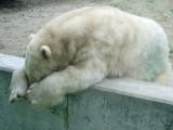 Verdrietige IJsbeer - Sorrowful Polar bear