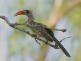 Red-billed Hornbill - Roodsnaveltok - Tockus erythrorhynchus-