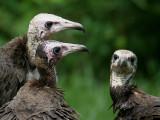 Hooded Vulture - Kapgier - Necrosyrtes monachus