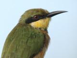 Little Bee eater - Dwergbijeneter - Merops pusillus