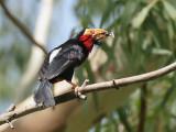 Bearded Barbet - Zwartbandbaardvogel - Lybius dubius