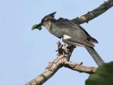 Levaillant's Cuckoo - Levaillants Koekoek - Levaillant's Cuckoo - Clamator levaillanti