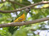 Senegal Parrot - Bonte Boertje - Poicephalus senegalus