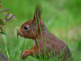 Eekhoorn - Squirrel