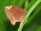 Vlinder - Thailand