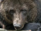 Bruine beer - Brown bear.jpg