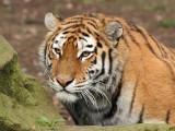 tiger - tijger