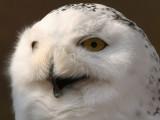 Snowy Owl - Sneeuwuil - Bubo scandiacus