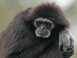 Monkey - Withandgibbon