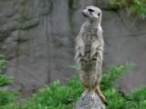 Stokstaartje - Suricate - Suricata suricatta