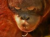 Orang-oetan -Orangutan - Pongo pygmaeus