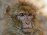 Berberaap - Barbary Macaque - Macaca sylvanus