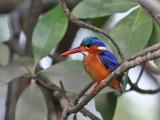 Malachite Kingfisher - Malachietijsvogel - Alcedo christata