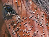 Paard - Horse / Vliegen - Flies
