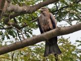 Black Kite - Milvus migrans - Zwarte Wouw