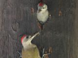 Grey Woodpecker - Grijze Specht - Dendropicos goertae