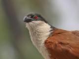 Senegal Cougal - Senegalese Spoorkoekoek - Sentropus senegalensis