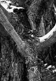 Maple tree bark, Weston, Missouri, 2007.jpg