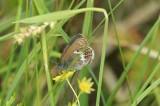 Coenonympha hero (brun gräsfjäril) Vinarn (Dlr) 100625 Stefan Lithner