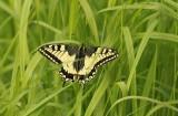 Papilio machaon (makaonfjäril) Grinduga (Gstr) 100626 Stefan Lithner
