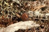 Erebia embla (gulringad gräsfjäril) Skellefteå-Dalkarlsliden (Vb) 100728 Stefan Lithner