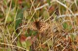 Frejas pärlemorfjäril  (Frejas pärlemorfjäril) Abisko-Kungsleden (Lpl) 100701 Stefan Lithner