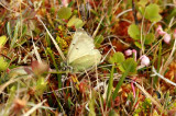 Colias werdandi (fjällhöfjäril) Abisko-Kungsleden (Lpl) 100701 Stefan Lithner