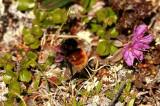 Bombus alpinus (alphumla) Borassatjåkka 100702 Stefan Lithner