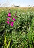 Gladiolus palustris  (kärrsabellilja) Segerstad (Öl) 100709 Stefan Lithner