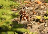 Apatura iris (sälgskimmerfjäril) Bårabygd (Bl) 100714 Stefan Lithner