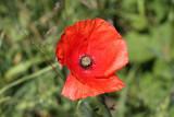 Long-headed Poppy