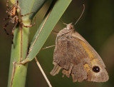 Spider and Meadow Brown