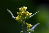 Great Yellow-cress